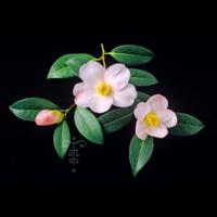 Camellia  'Charles Michaël'