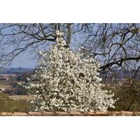 Magnolia xloebneri 'Merrill'