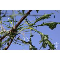 Aesculus hippocastanum fo. laciniata