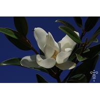 MAGNOLIA grandiflora ALTA®
