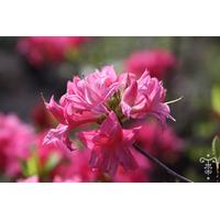 Rhododendron azalea 'Homebush'