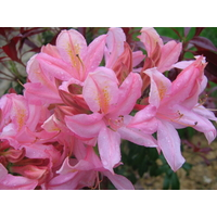 Rhododendron viscosum 'Jolie Madame'