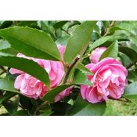 Camellia x 'Fragrant Joy'