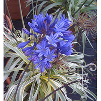 Agapanthus 'Gold Strike