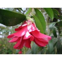 Camellia japonica 'Kujaku-tsubaki'