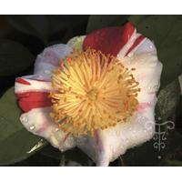 Camellia japonica (Higo) 'Kyô-nishiki'
