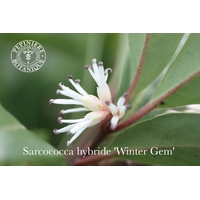 Sarcococca hybride 'Winter Gem'