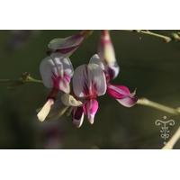 Lespedeza thunbergii subsp. thunbergi 'Edo-shibori'