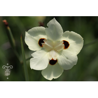 Dietes bicolor -Thoby Gaujacq