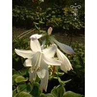 Hosta  'Fragrant Bouquet'
