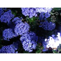 Ceanothus 'Blue Sapphire'®