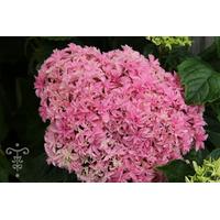 Hydrangea macrophylla  YOU & ME® Inspire
