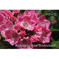 Kalmia latifolia 'Bridesmaid'