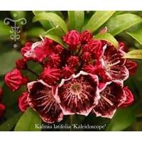 Kalmia latifolia 'Kaleidoscope'