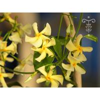 Trachelospermum asiaticum 'Christabel Biedenbierg'