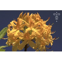RHODODENDRON luteum (2)