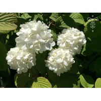 Viburnum f. plicatum 'Popcorn'