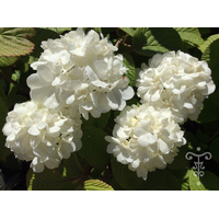 Viburnum plicatum 'Popcorn' Thoby Gaujacq2
