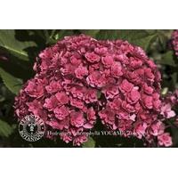 Hydrangea macrophylla  YOU & ME® Together