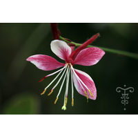 Gaura lindheimeri 'Emotions'