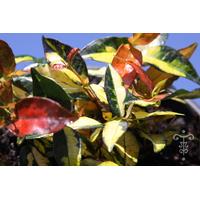 Trachelospermum asiaticum 'Ogon-nishiki'