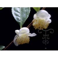 Camellia sp sinensis 'Kolkhida'