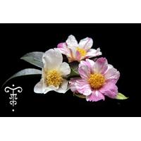 Camellia x 'Souvenir de Claude Brivet'