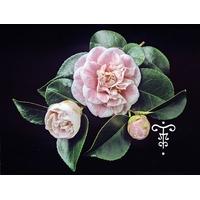 Camellia japonica 'Madame Cormerais-Bahuaud'