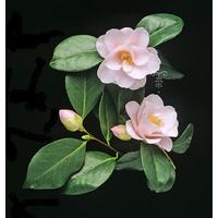 Camellia japonica 'Fleur de Pêcher'