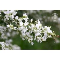 Desmodium penduliflorum var.albiflora