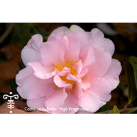 Camellia x 'High Fragrance'