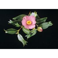 Camellia japonica 'Kingyo-tsubaki'