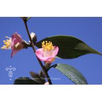 Camellia cuspidata 'Nam de Gaujacq'