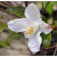 Camellia lutchuensis (botanique)