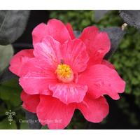 Camellia x 'Freedom Bell' à Gaujacq