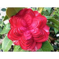 Camellia japonica 'Nine Bends'