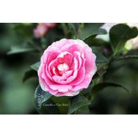 Camellia x 'Gay Baby'