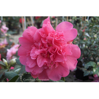Camellia x 'Anticipation'