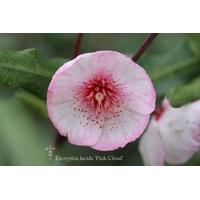 Eucryphia lucida 'Pink Cloud'