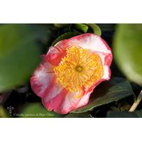 Camellia japonica de Higo 'Ôkan'