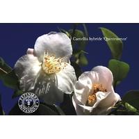 Camellia x 'Quintessence'
