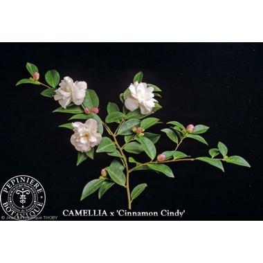 camellia___cinnamon_cindy_