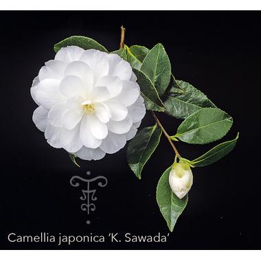 Camellia japonica 'K. Sawada' 11288-THOBY