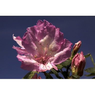Rhododendron indicum 'Rosa Belton' -Thoby Gaujacq