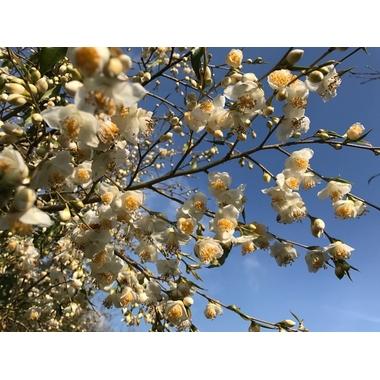 camellia tsaii var tsaii-Gaujacq-5