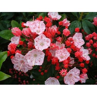 Kalmia latifolia 'Otsbo Red'