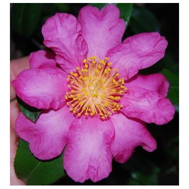 camellia-anna-dzofka-thoby-gaujacq-1577