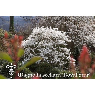 Magnolia stellata Royal Star au Plantarium