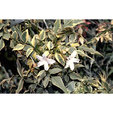 Jasminum officinalis 'Argenteovariegatum'