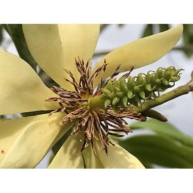Michelia yunnanensis à Gaujacq